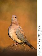 Купить «Laughing dove (Streptopelia senegalensis). Zimanga private game reserve, KwaZulu-Natal, South Africa. June.», фото № 25784689, снято 12 июля 2020 г. (c) Nature Picture Library / Фотобанк Лори