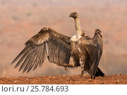Whitebacked vulture  (Gyps africanus) with wings open, Zimanga private game reserve, KwaZulu-Natal, South Africa. September. Стоковое фото, фотограф Ann  & Steve Toon / Nature Picture Library / Фотобанк Лори