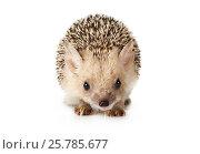 Купить «Hedgehog isolated on a white background», фото № 25785677, снято 7 марта 2017 г. (c) Алексей Кузнецов / Фотобанк Лори