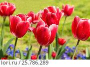 Купить «Яркие карминово-красные с белой каймой тюльпаны (лат. Tulipa) класса Триумф в весеннем саду на фоне зеленой травы и синих фиалок или Анютиных глазок (лат. Viola)», фото № 25786289, снято 14 апреля 2013 г. (c) Наталья Гармашева / Фотобанк Лори