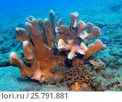 Каменный коралл, остров Бали, Ловина риф, Индонезия. Стоковое фото, фотограф Александр Огурцов / Фотобанк Лори