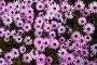 gazania longiscapa flowers, фото № 25794217, снято 21 марта 2017 г. (c) Яков Филимонов / Фотобанк Лори