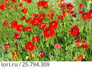 Купить «poppy flowers on uncultivated field», фото № 25794309, снято 12 мая 2016 г. (c) Яков Филимонов / Фотобанк Лори