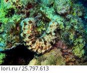 Кукумария, остров Бали, Ловина риф, Индонезия. Стоковое фото, фотограф Александр Огурцов / Фотобанк Лори