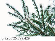Ветки елки в снегу. Стоковое фото, фотограф Виталий Федоров / Фотобанк Лори