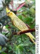 Yellow Cockatiel outdoors. Стоковое фото, фотограф Алексей Кузнецов / Фотобанк Лори