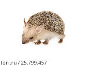 Купить «African hedgehog isolated on a white background», фото № 25799457, снято 7 марта 2017 г. (c) Алексей Кузнецов / Фотобанк Лори