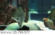 Купить «Monodactylidae in beautifully decorated freshwater Aquarium stock footage video», видеоролик № 25799577, снято 11 июня 2015 г. (c) Юлия Машкова / Фотобанк Лори