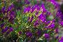 Ice-plant (Lampranthus multiradiatus) plant, фото № 25804281, снято 22 марта 2017 г. (c) Яков Филимонов / Фотобанк Лори