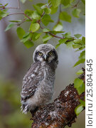 Купить «Fledgling Northern Hawk Owl (Surnia ulula). Finland. June.», фото № 25804645, снято 19 мая 2019 г. (c) Nature Picture Library / Фотобанк Лори