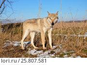 Чучело молодой волчицы. Стоковое фото, фотограф Жанетта Багаджиян / Фотобанк Лори