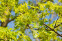 Молодые листья и цветки клена (лат. Acer), фото № 25814377, снято 14 апреля 2013 г. (c) Наталья Гармашева / Фотобанк Лори