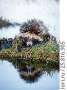 Купить «Raccoon Dog on a Hummock on a Swamp», фото № 25816905, снято 17 февраля 2016 г. (c) Sergii Zarev / Фотобанк Лори