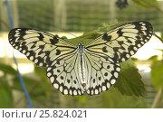 Купить «Тропическая бабочка Идея Левконоя (idea leuconoe)», фото № 25824021, снято 25 марта 2017 г. (c) Иванова Анастасия / Фотобанк Лори
