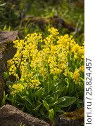 Купить «Первоцвет весенний или лекарственный Primula veris», фото № 25824457, снято 11 мая 2015 г. (c) Юлия Бабкина / Фотобанк Лори