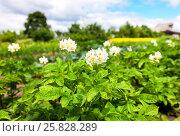 Купить «Кусты картофеля с белыми цветами растут в огороде в летний солнечный день», фото № 25828289, снято 20 июля 2019 г. (c) FotograFF / Фотобанк Лори