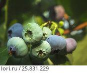 Голубика садовая. Стоковое фото, фотограф Вера Чумакова / Фотобанк Лори