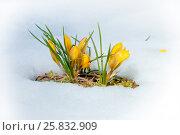 Купить «Крокусы желтые», фото № 25832909, снято 16 октября 2018 г. (c) Татьяна Белова / Фотобанк Лори
