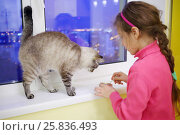 Купить «Girl child in pink feeding pet cat by spoon on white windowsill at evening, focus on animal», фото № 25836493, снято 11 марта 2015 г. (c) Losevsky Pavel / Фотобанк Лори