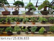 Купить «Different kinds of bonsai in pots on the shelves in the greenhouse», фото № 25836833, снято 14 марта 2015 г. (c) Losevsky Pavel / Фотобанк Лори