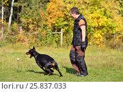 Купить «Man is dog trainer and doberman pinscher catching ball on grass on autumn day», фото № 25837033, снято 24 сентября 2015 г. (c) Losevsky Pavel / Фотобанк Лори