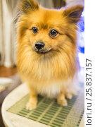Купить «Redhead pomeranian dog posing sitting closeup», фото № 25837157, снято 21 июля 2019 г. (c) Losevsky Pavel / Фотобанк Лори
