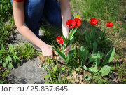 Купить «Female hands cut red tulips for making boughpot in summer garden», фото № 25837645, снято 6 мая 2015 г. (c) Losevsky Pavel / Фотобанк Лори