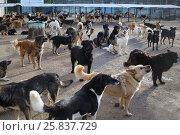 Купить «Many stray dogs go, stand, lie in yard in asylum at autumn sunny day», фото № 25837729, снято 6 октября 2015 г. (c) Losevsky Pavel / Фотобанк Лори