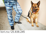 Купить «Legs of policeman in camouflage with shepherd outdoor», фото № 25838245, снято 25 июня 2015 г. (c) Losevsky Pavel / Фотобанк Лори