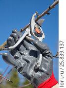 Купить «Обрезка плодовых деревьев весной на дачном участке», эксклюзивное фото № 25839137, снято 26 марта 2017 г. (c) Елена Коромыслова / Фотобанк Лори