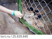 Купить «Child hand feeds rabbit behind wire netting with grass», фото № 25839845, снято 29 мая 2015 г. (c) Losevsky Pavel / Фотобанк Лори