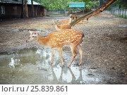 Купить «Three dappled deers at the fenced territory of zoo», фото № 25839861, снято 29 мая 2015 г. (c) Losevsky Pavel / Фотобанк Лори