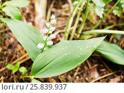Купить «Lonely uncultivated lily of the valley flower in forest», фото № 25839937, снято 30 мая 2015 г. (c) Losevsky Pavel / Фотобанк Лори