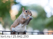 Купить «Red squirrel sitting on top of fence», фото № 25842293, снято 25 августа 2014 г. (c) Losevsky Pavel / Фотобанк Лори