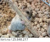 Купить «Hamster in a cage», фото № 25848217, снято 10 апреля 2010 г. (c) Леонид Еремейчук / Фотобанк Лори