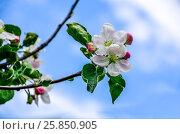 Landscape with a spring flowering pear in the garden. Стоковое фото, фотограф Олеся Новицкая / Фотобанк Лори