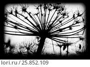 Купить «Sosnowskyi flowers, black and white silhouette», фото № 25852109, снято 8 марта 2017 г. (c) EugeneSergeev / Фотобанк Лори