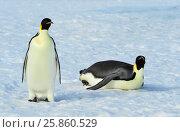 Купить «Two Emperor Penguins on the snow», фото № 25860529, снято 20 октября 2010 г. (c) Vladimir / Фотобанк Лори