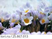 Купить «Первые весенние цветы - крокусы», фото № 25867013, снято 4 марта 2016 г. (c) Татьяна Белова / Фотобанк Лори