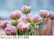 Купить «Тюльпаны», фото № 25871845, снято 4 марта 2016 г. (c) Татьяна Белова / Фотобанк Лори