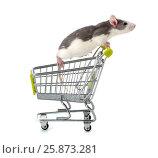 Купить «Декоративная домашняя крыса сидящая в миниатюрной покупательской тележке.», фото № 25873281, снято 18 июня 2019 г. (c) Olesya Tseytlin / Фотобанк Лори