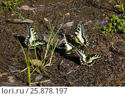 Купить «Бабочки пьют из пересохшей лужи», эксклюзивное фото № 25878197, снято 11 мая 2015 г. (c) Dmitry29 / Фотобанк Лори