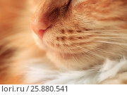 Купить «Close-up of a nose of a red cat», фото № 25880541, снято 18 марта 2017 г. (c) Морозова Татьяна / Фотобанк Лори