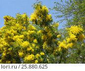 Цветущее дерево мимозы, фото № 25880625, снято 17 марта 2017 г. (c) DiS / Фотобанк Лори