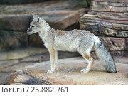 Купить «Степная лисица, Геленджик, Сафари-парк», эксклюзивное фото № 25882761, снято 4 октября 2016 г. (c) Dmitry29 / Фотобанк Лори