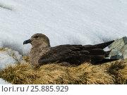 Купить «Brown Skua is nesting», фото № 25885929, снято 17 ноября 2006 г. (c) Vladimir / Фотобанк Лори