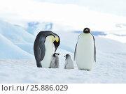 Купить «Emperor Penguins with chick», фото № 25886029, снято 20 октября 2010 г. (c) Vladimir / Фотобанк Лори