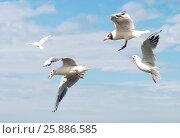 Балтийские чайки в полете спорят за кусок хлеба. Стоковое фото, фотограф Олег Пученков / Фотобанк Лори