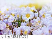 Купить «Крокусы», фото № 25897761, снято 4 марта 2016 г. (c) Татьяна Белова / Фотобанк Лори