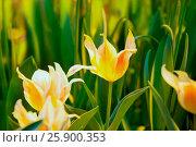 Купить «Желто-оранжевые тюльпаны», фото № 25900353, снято 4 марта 2016 г. (c) Татьяна Белова / Фотобанк Лори